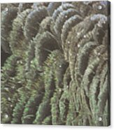 Black Swan Feathers Acrylic Print