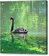 Black Swan Swim In A Pond Acrylic Print