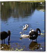 Black Swan's Acrylic Print
