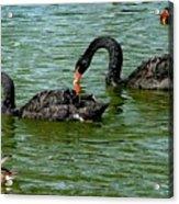 Black Swans Acrylic Print