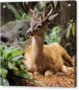 Black-tailed Deer Acrylic Print