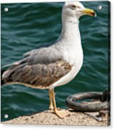 Black Tailed Gull On Dock Acrylic Print