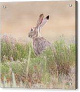 Black-tailed Jackrabbit Keeps Watch Acrylic Print
