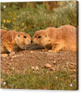 Black-tailed Prairie Dog Greeting Kiss Acrylic Print