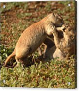 Black-tailed Prairie Dogs Wrestling Around Acrylic Print
