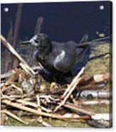 Black Tern On Nest Acrylic Print