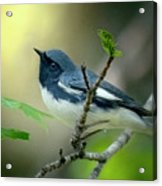 Black-throated Blue Warbler Acrylic Print
