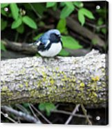 Black-throated Blue Warbler Acrylic Print