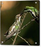 Black-throated Mango With Her Baby Hummingbird. Acrylic Print