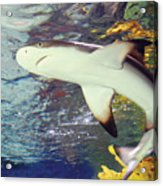 Black Tipped Reef Shark-1 Acrylic Print