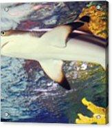Black Tipped Reef Shark Acrylic Print