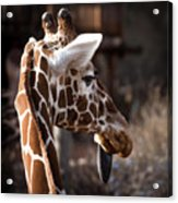 Black Tongue Of The Giraffe Acrylic Print