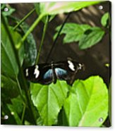 Black Tropical Butterfly Acrylic Print
