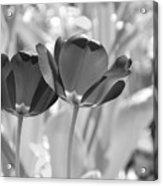 Black Tulips Acrylic Print