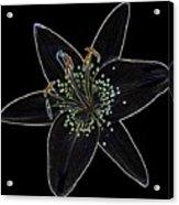 Black Velvet Lily Acrylic Print