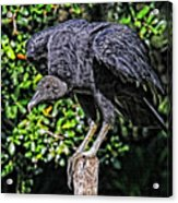 Black Vulture On A Fence Post Acrylic Print