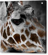 Black  White And Color Giraffe Acrylic Print