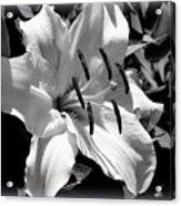 Black White Lilly Acrylic Print by Kip Krause