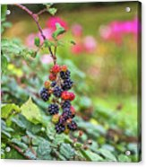 Blackberry. Acrylic Print