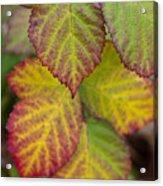 Blackberry Autumn Acrylic Print