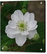 Blackberry Blossom Acrylic Print