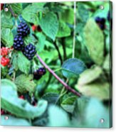 Blackberry  Acrylic Print by JC Findley