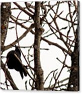 Blackbird In A Tree Acrylic Print