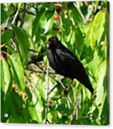 Blackbird In The Cherry Tree Acrylic Print