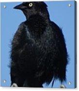 Blackbird On Chain Link Fence Acrylic Print