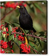 Blackbird Red Berries Acrylic Print