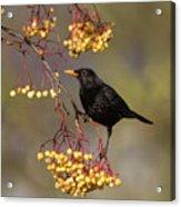 Blackbird Yellow Berries Acrylic Print