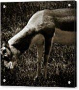 Blackbuck Acrylic Print