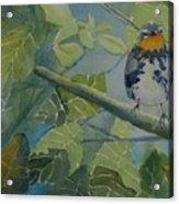 Blackburnian Warbler I Acrylic Print