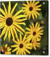 Blackeyed Susan Acrylic Print