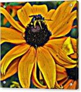 Blackeyed Susan With Bee Acrylic Print