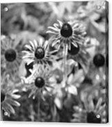 Blackeyed Susans In Black And White Acrylic Print