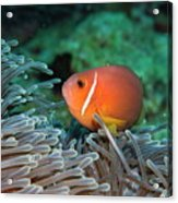 Blackfoot Anemonefish Hosted In A Magnificent Sea Anemone Acrylic Print