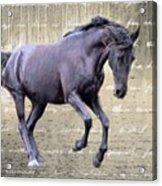 Blackhorse Poetry Acrylic Print