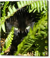 Blackie In The Ferns Acrylic Print
