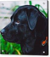 Blackiecharlie IIi Acrylic Print