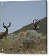 Blacktail Deer 2 Acrylic Print