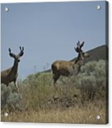 Blacktail Deer 3 Acrylic Print