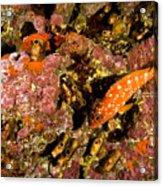 Blacktip Grouper Epinephelus Fasciatus Acrylic Print