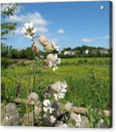 Bladder Campion On Stone Wall Acrylic Print