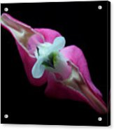 Bleeding Heart 2011-4 Acrylic Print