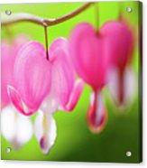 Bleeding Heart Flower Acrylic Print