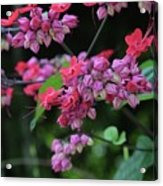 Bleeding Heart Vine Acrylic Print