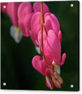 Bleeding Hearts Flowers Acrylic Print