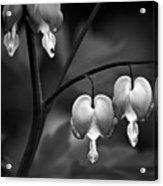 Bleeding Hearts In Bw Acrylic Print