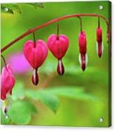 Bleeding Hearts - Lamprocapnos-spectabilis Acrylic Print
